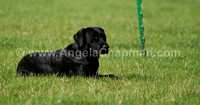 AC LRSE&C Gundog Training Day August 2009 156.jpg